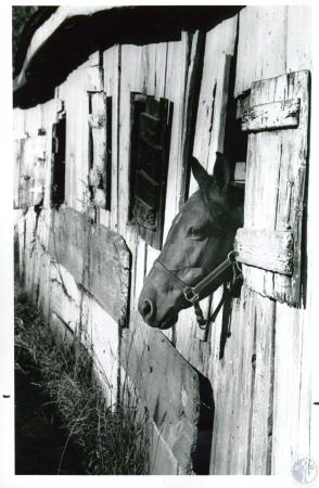 Image: di10182 - Horse looking out of barn at Alexandria Fairground