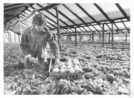 Image: di14280 - Kevin Kremer (20) cutting bib lettuce at Kremer's Greenhouse