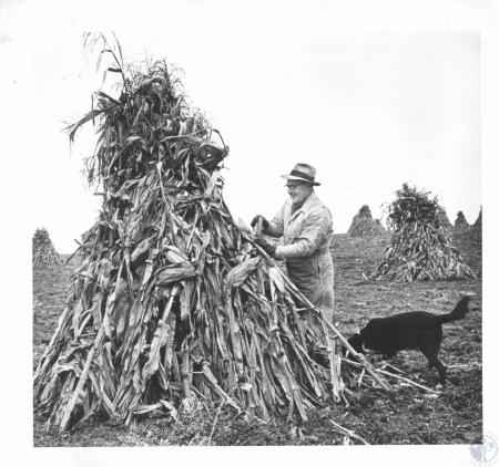 Image: di14281 - Frank S Afterkirk husking corn from field shock