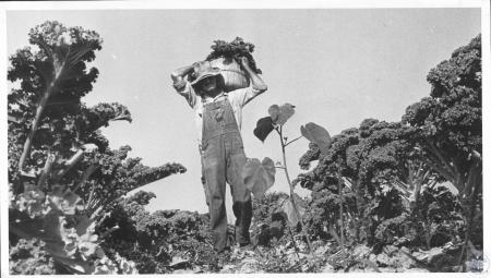 Image: di14286 - Henry Anderson harvests kale on his farm