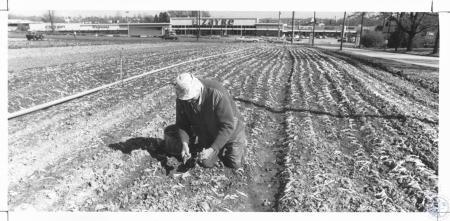 Image: di14287 - Henry Kruempelman setting lettuce