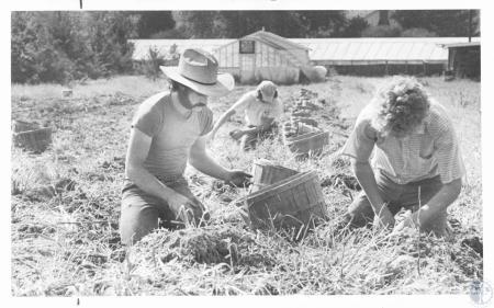Image: di14288 - Les McGlasson (22), Harold Dye (17) & Roger Garvey (18) picking potatos on McGlasson Farm