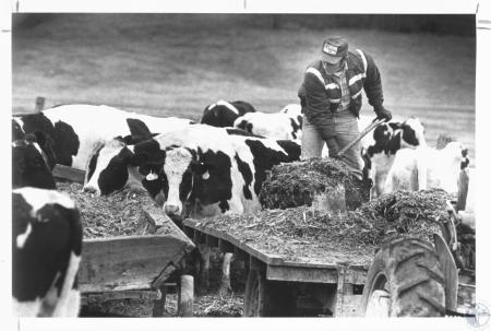 Image: di18217 - Melvin Carpenter feeding silage to his cows after morning milking