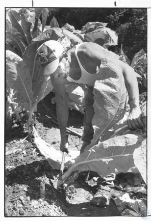 Image: di21217 - Dale McCormick (40) cutting tobacco