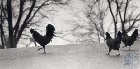 Image: di81890 - Chickens crossing Gardnersville Road.
