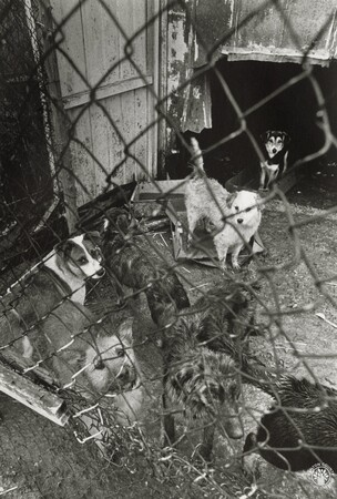 Image: di96744 - Dogs at the Grant County dog pound