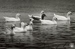 """di95817 - """"A gaggle of geese floats leisurely around ..."""