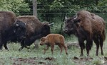 di98763 - Vicki, 3 day old buffalo checks out others ...